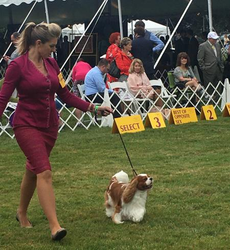 Chester the Cavalier spaniel at Westminster