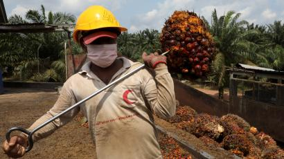 An image of a farmer carrying a head of oil pam on a stick over his shoulder, his face covered with a nose mask.