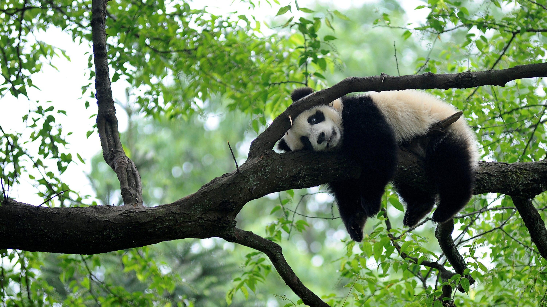 "A giant panda rests on a tree ""panda kindergarten"", a refuge for baby pandas, inside Bifengxia giant panda base in Ya'an, Sichuan province"