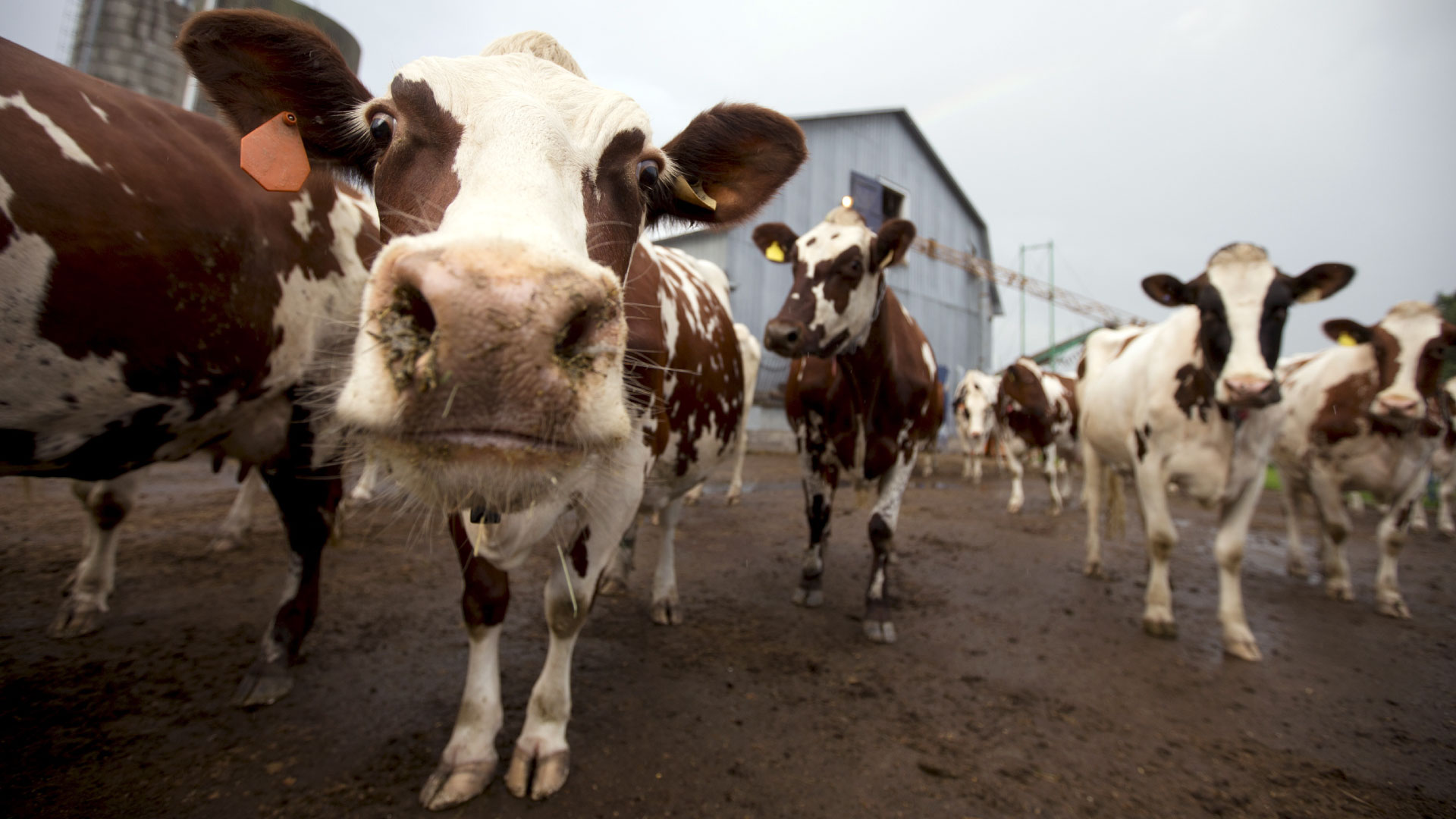A close up of a brown spotted cow's face while it stands on muddy ground amongst other cows in front of a blue barn.